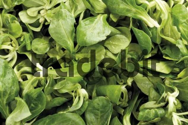 Corn salad or lambs lettuce, format-filling