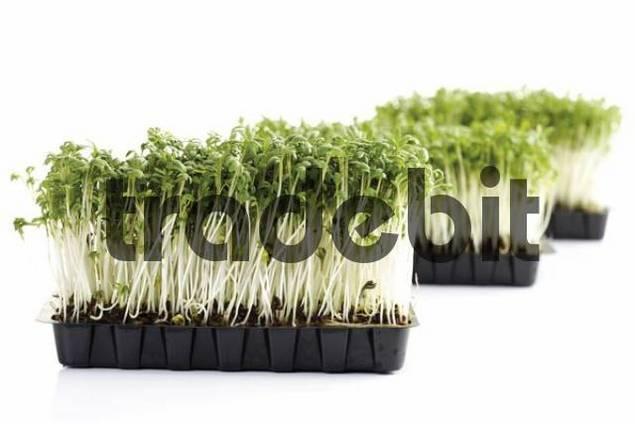 Garden Cress or Pepper Grass Lepidium sativum