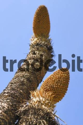 Cycad, male calyx, Territory Wildlife Park, Darwin, Northern Territory, Australia