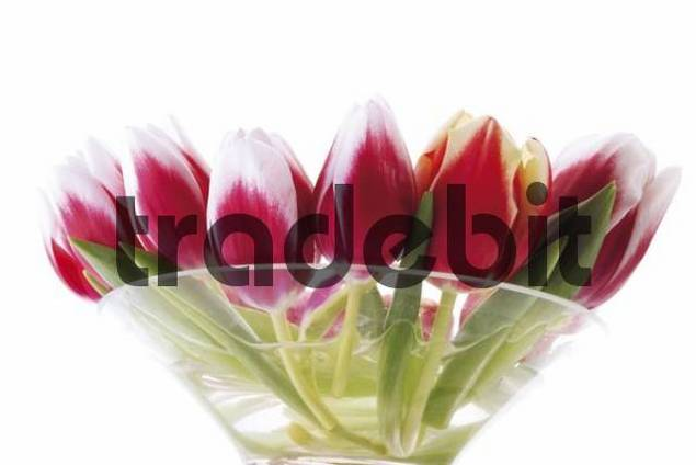 Red-and-white tulips in glass bowl