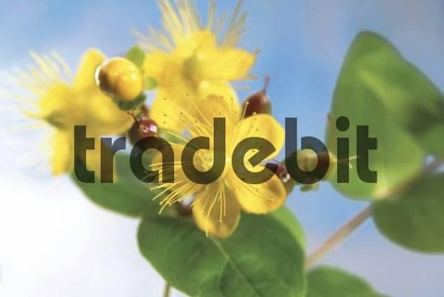St. Johns Wort Hypericum perforatum