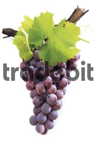 Red grapes on grapevine with vine leaves