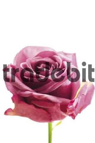Dusky pink-coloured floribunda rose