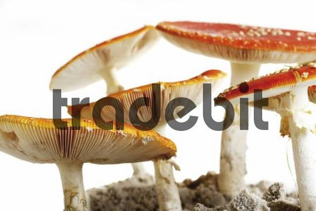 Fly Agaric mushrooms Amanita muscaria var. muscaria