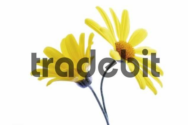 Yellow Euryops flowers