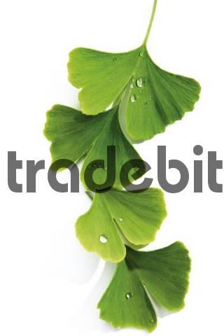 Gingko leaves Ginkgo biloba covered in dewdrops