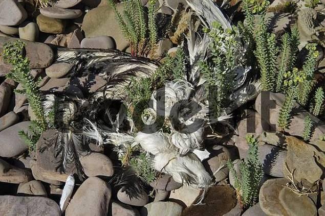 remainings of a dead sea gull Stokes Bay Kangaroo Island Australia