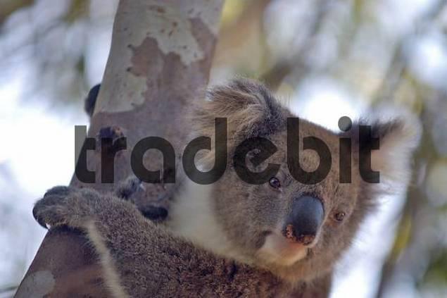 a coala near the Stokes Bay Kangaroo Island Australia