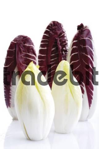 Endives and Radicchio Cichorium intybus var. foliosum
