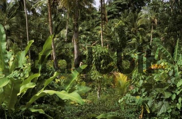 Mixed crops cocoa, bananas, etc., Sucre, Venezuela, South America