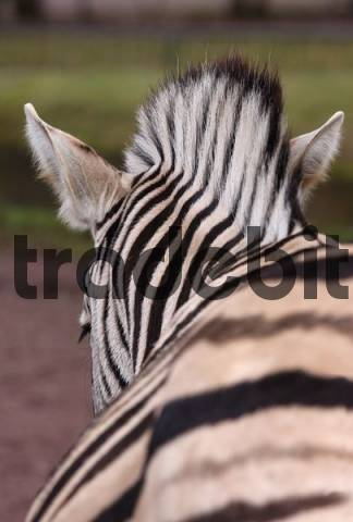 Zebra Equus viewed from behind, Erfurt Zoo, Thuringia, Germany, Europe