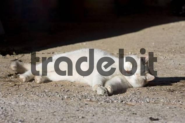 Playful cat, Ramsau, Styria, Austria, Europe