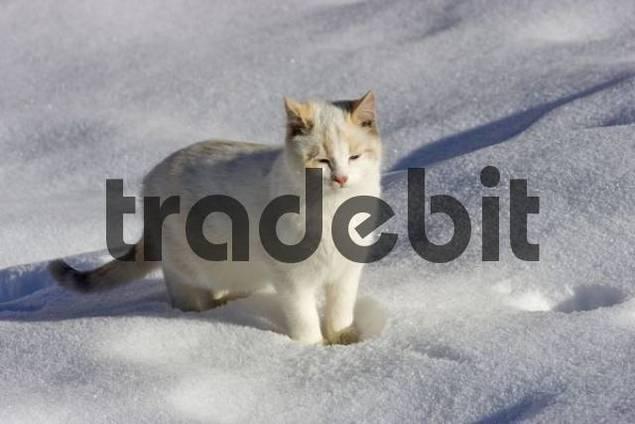 Cat walking through the snow, Ramsau, Styria, Austria, Europe