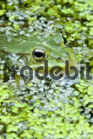 Edible Frog Rana esculenta, Filz, Woergl, Tirol, Austria, Europe