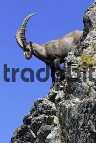 Male Alpine Ibex Capra ibex, Hohe Tauern National Park, Carinthia, Austria, Europe