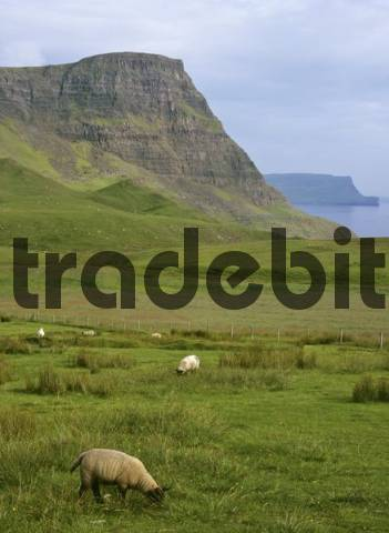 Sheep and Waterstein Head in the background, Neist Point, Isle of Skye, Scotland, UK, Europe