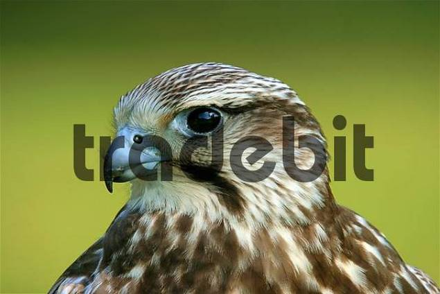 portrait of a young Saker Falcon Falco cherrug with specific blue bill base, captured