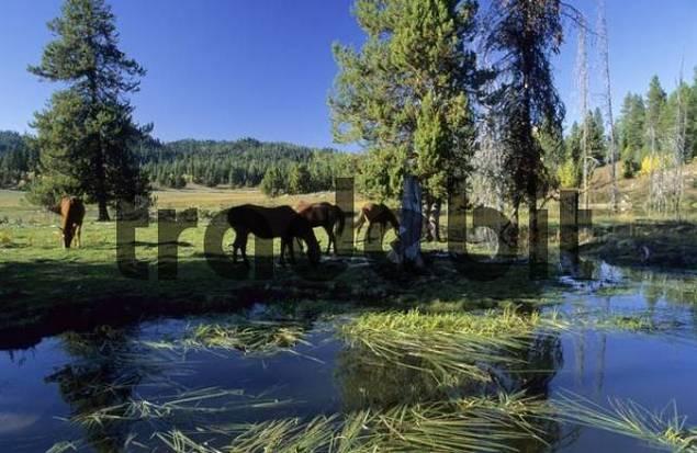 horses on a ranch, Idaho, USA