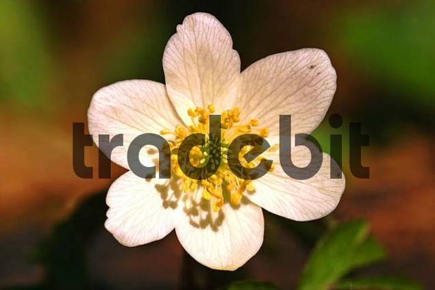 blossom of the Wood Anemone Anemone nemorosa in close-up