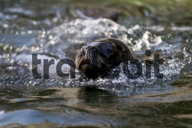 California sea lion Zalophus californianus