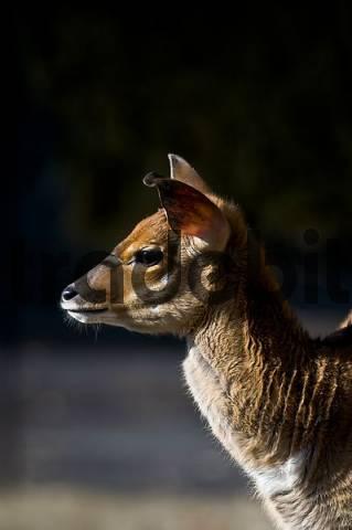 Lowland Nyala, young animal, Tragelaphus angasii