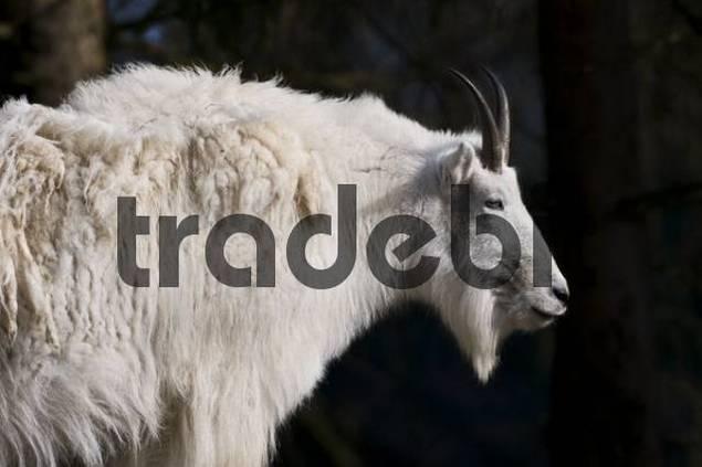 Rocky mountain goat Oreamnos americanus