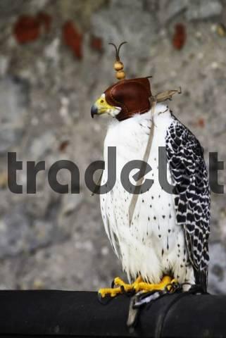 Gyrfalcon, Gyr Falcon Falco rusticolus wearing leather cap