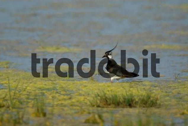 Northern Lapwing Vanellus vanellus standing at the waters edge, Warmsee Warm Lake, Illmitz, Austria, Europe