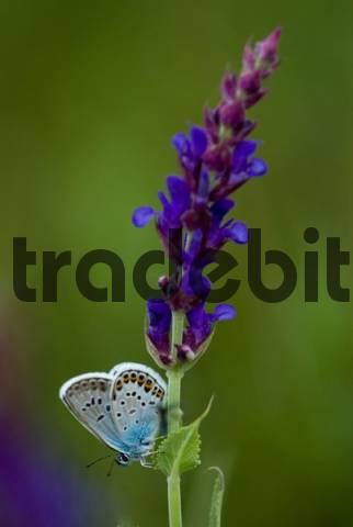 Common Blue butterfly Polyommatus icarus, Pamhagen, Burgenland, Austria, Europe