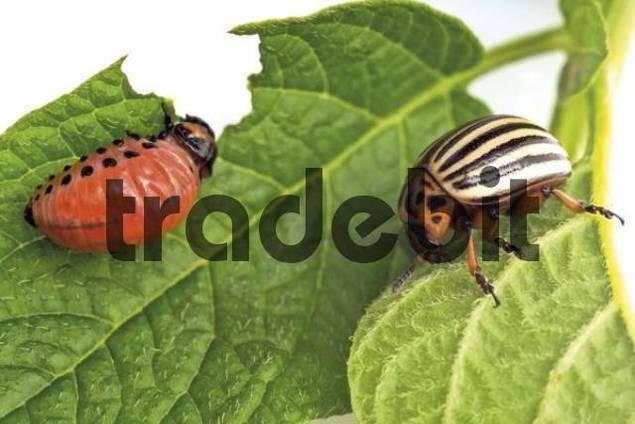 Potato Beetle and Potato Beetle larva Leptinotarsa decemlineata on a gnawed-on potato leaf