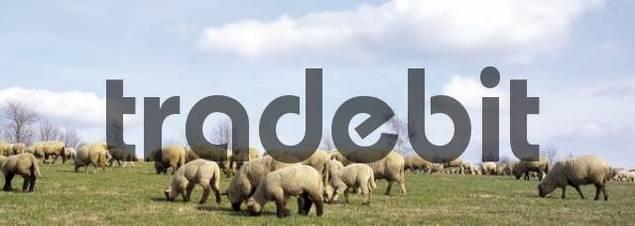 Herd of sheep, Windeck, North Rhine-Westphalia, Germany, Europe