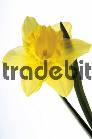 Yellow Wild Daffodil Narcissus pseudonarcissus