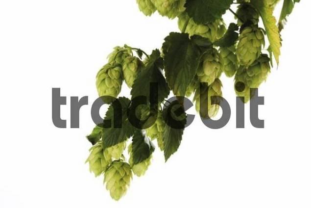 Hop umbels Humulus