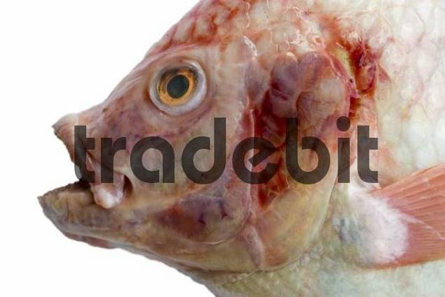Fish - red snapper