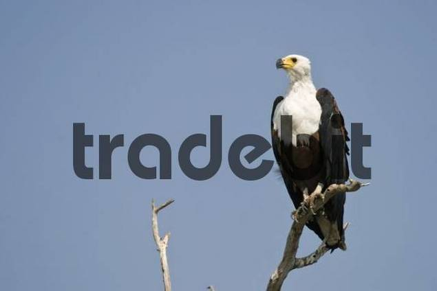African Fish Eagle Haliaeetus vocifer, Chobe River, Chobe National Park, Botswana, Africa