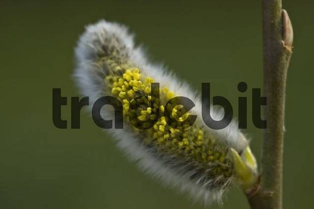 Willow blossom Salix