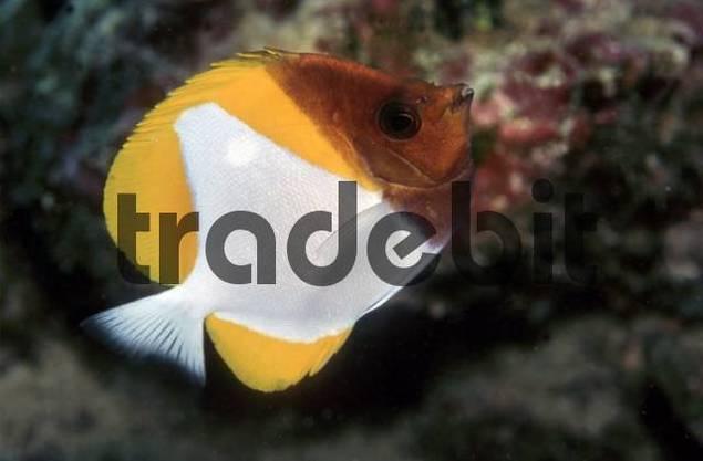 Pyramid Butterflyfish Sale Pyramid Butterflyfish