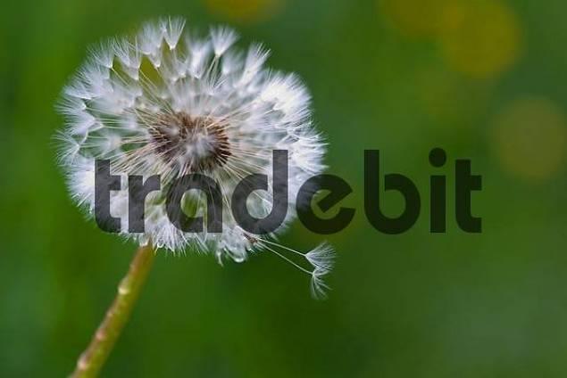 Dandelion clock Taraxacum