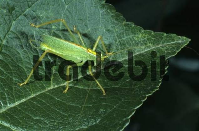 Oak Bush Cricket or Drumming Katydid Meconema thalassinum, male