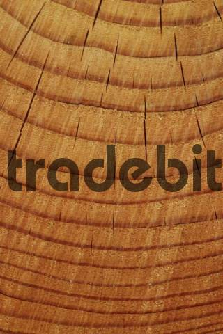 Tree rings annual rings, Lueerwald Luer Forest, Sauerland, North Rhine-Westphalia, Germany