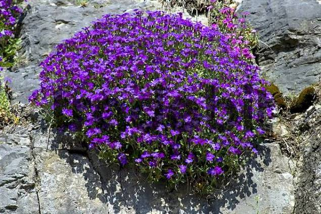 Common Aubrieta Aubrieta deltoidea rock garden Switzerland