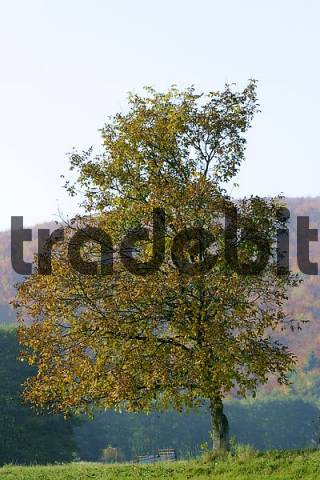 Autumnale colored walnut tree on a meadow in the Westerwald, Hessen, Germany