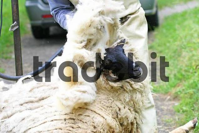 shearing of a sheep with a electrical scissor
