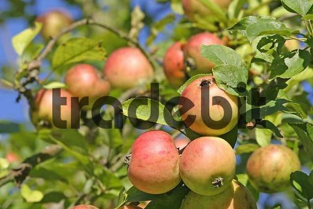 Apples Goldparmäne on the tree
