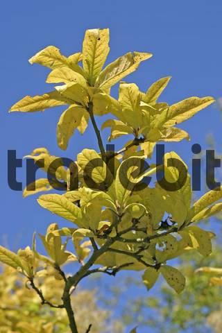 Autumnale colored leafes of a medlar Mespilus germanica