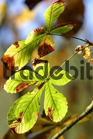 Autumnale colored chestnut leafes shining in the sun