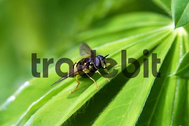 Common hover fly on a leaf
