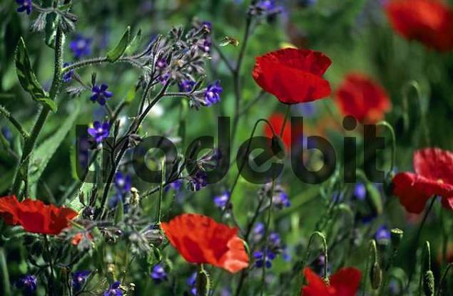 Poppy field with small bee near Lioux Provence France