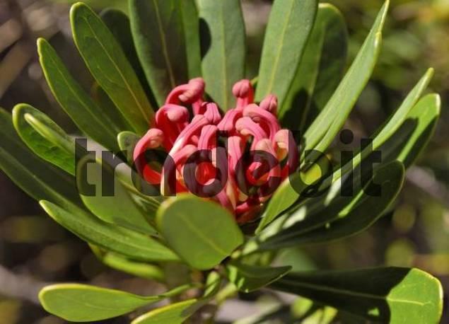 Tasmanian Waratah Telopea truncata native to southeastern Australia, Cradle Mountains, Tasmania, Australia