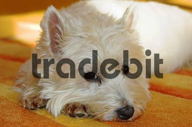 West Highland White Terrier lies on a carpet looking sceptical